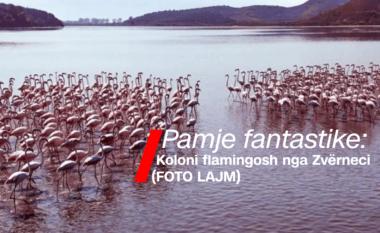 Pamje fantastike: Koloni flamingosh nga Zvërneci (FOTO LAJM)