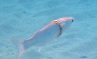 Nuk është përrallë: Burri humbi unazën e martesës, por e gjen muaj më vonë të ngecur në trupin e peshkut