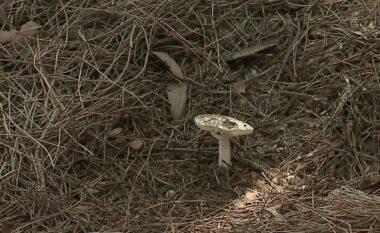 Vdekja e kosovarëve në Shqipëri, kultivuesit thonë se sezoni i kërpudhave ende s'ka filluar