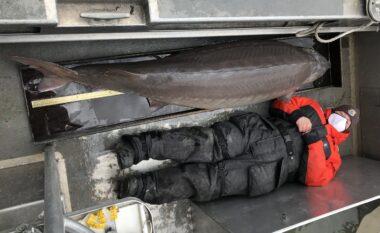 Kapet peshku gjigant, mbi 100 vjeç, në ujërat e lumit Detroit