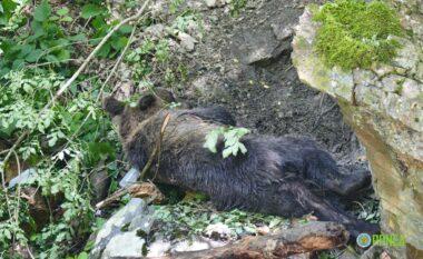 Prej ditësh në lak, shpëtohet ariu i murrmë në Kukës