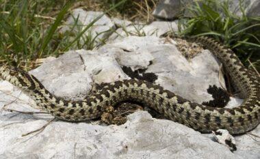 Rritja e temperaturave, shtohen rastet e të helmuarve nga pickimi i gjarpërinjve në Fier (VIDEO)