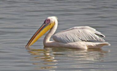 Pelikani arratiset nga kopshti zoologjik, pikaset 100 kilometra larg