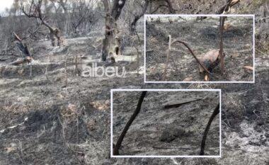 Breshkat nuk iu shpëtuan dot flakëve, digjen në zjarrin e Panajasë dhe Bestrovës që shkrumboi gjithçka (VIDEO)