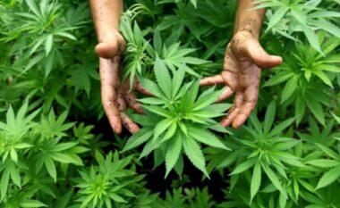 """Kanabisi """"lulëzonte"""" në bjeshkët e Tropojës, arrestohet 30 vjeçari dhe procedohet penalisht inspektori i pyjeve"""