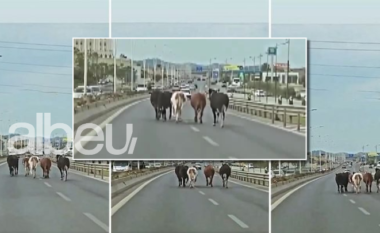 5 lopëzaptojnëautostradën Tiranë-Durrës, shoferët mbajnëradhëpas tyre (VIDEO)