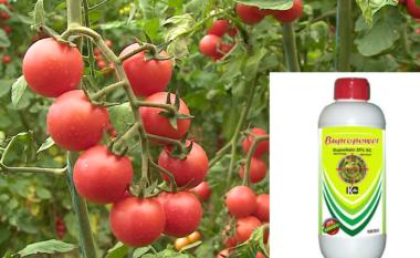 Çfarë po hanë shqiptarët? Kamioni me domate nga Berati kthehet mbrapsht: Janë të rrezikshme!