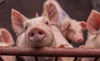 Kirurgët amerikanë testojnë transplantin e veshkës së derrit te njerëzit