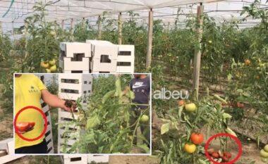 Kalben domatet në serra, fermerët në Roskovec: Farat e këqija, qeveria të na kompensojë
